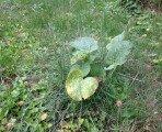 Une rose géante