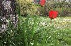 Les tulipes sortent de terre