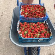 Des fraises à la brouette